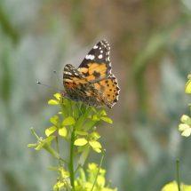 Butterfly Watching in Kyrgyzstan – Butterflies of Southwestern Tien-Shan, 14 days
