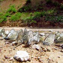 Butterflies tour to Kyrgyzstan – Butterflies of Issyk-Kul and high Tien-Shan, 15 days